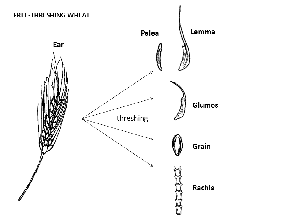 Free-threshing wheat