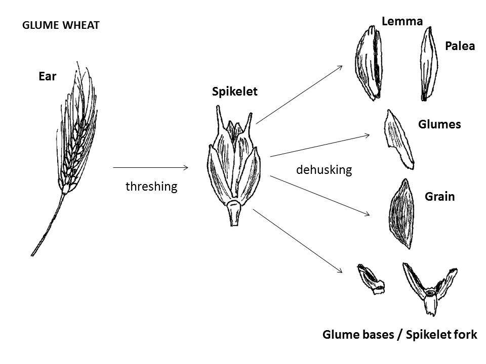 Glume wheat